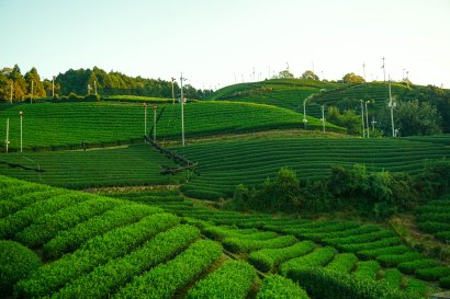 Matcha Tea Fields - Wazuka, Japan ©Tiffany Cromwell
